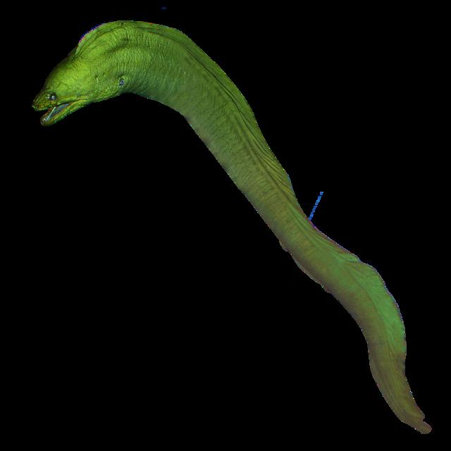 Grön muräna