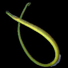 Snake pipefish