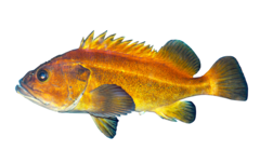 Guløjet rødfisk