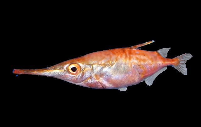 Snäppfisk