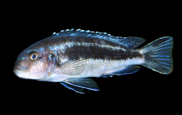 Blågrå mbuna-cichlide