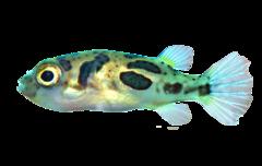 Dværg kuglefisk