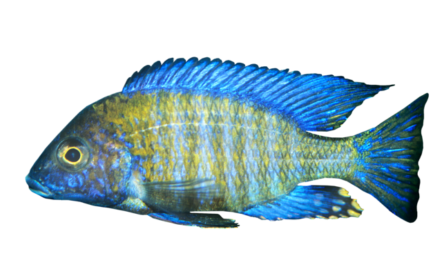 Northern aulonocara