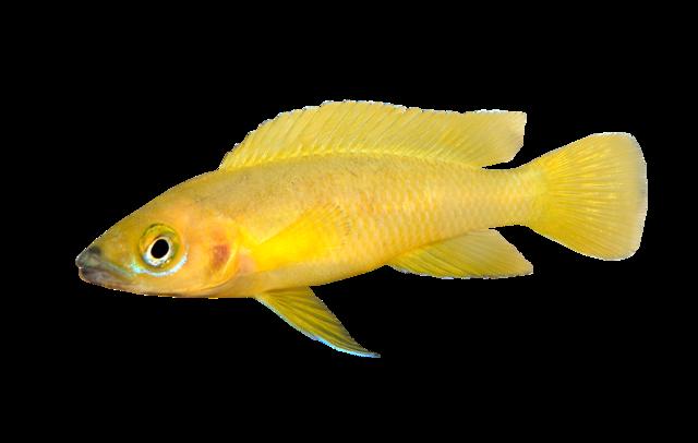 Leleups gule Cichlide