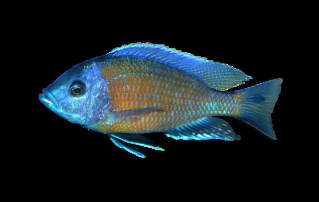 Haplochromis goldfin