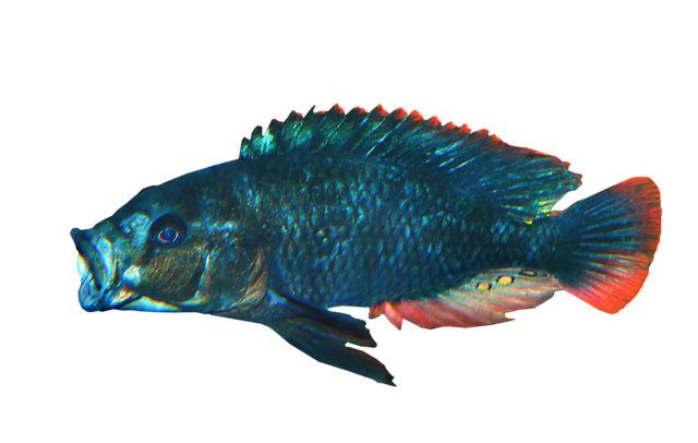 Blue victoria mouthbrooder