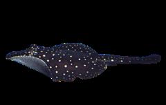 Itaituba freshwater stingray