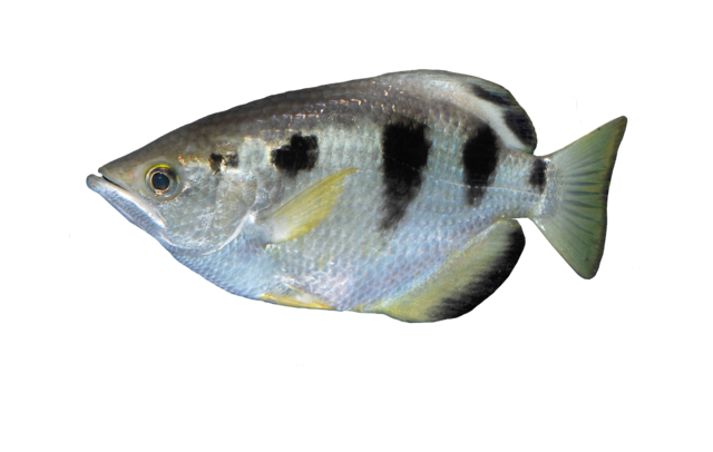 Sprutfisk
