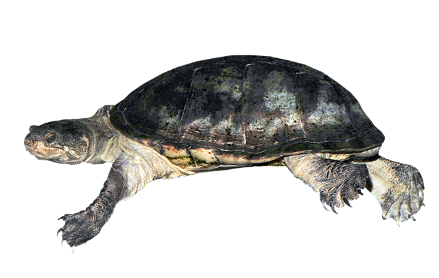 West African mud turtle