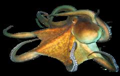 Middelhavsblæksprutte