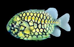 Japansk koglefisk