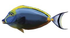 Elegant unicornfish