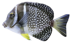 Whitespotted surgeonfish