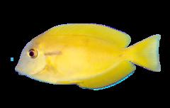 Orangespot surgeonfish
