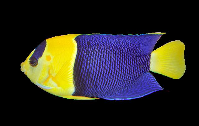 Blågul dvärgkejsarfisk