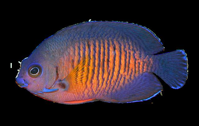 Topigget dværgkejserfisk