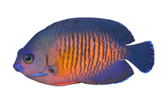 Twospined angelfish