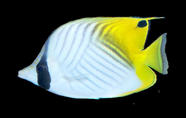 Flaggfisk