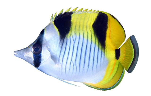 Blackwedged butterflyfish