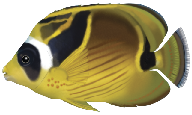 Månefanefisk