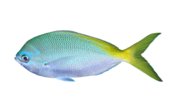 Redbelly yellowtail fusilier