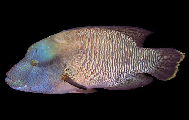 Napoleonsfisk