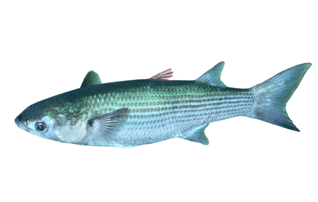 Thicklip grey mullet
