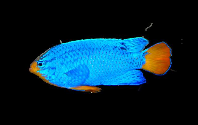 Blå djävulsfisk