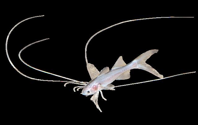 Mangestrålet trådfinnefisk