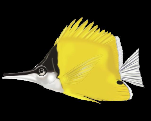 Langsnudet pincetfisk