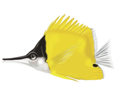 Longnose butterflyfish