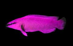 Violet koralsmutte