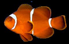 Sammetsclownfisk