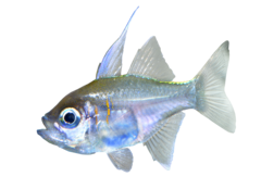Threadfin cardialfish