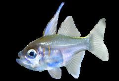 Blåøjet kardinalfisk