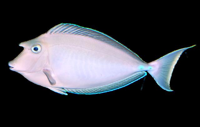 Bluespine unicornfish