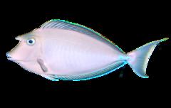 Blåpigget næsehornsfisk