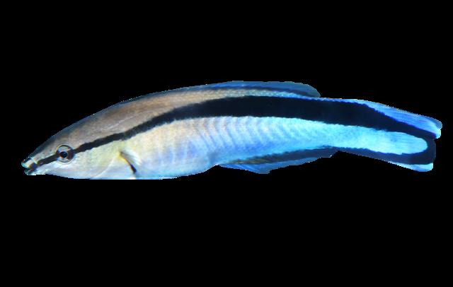 Blå putsarfisk