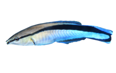Bluestreak cleaner wrasse