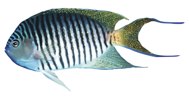 Spotbreast angelfish