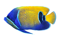 Bluegirdled angelfish