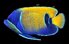Drömkejsarfisk