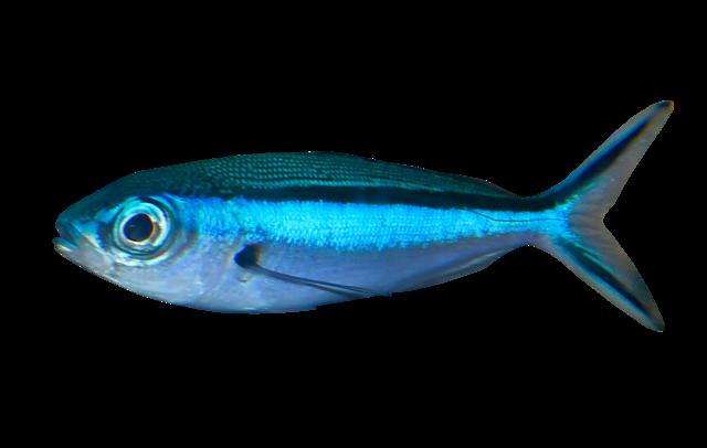 Sortbåndet musketerfisk