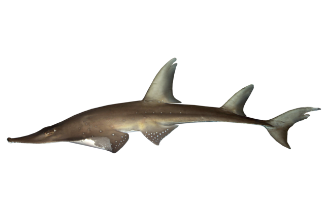 Whitespotted wedgefish