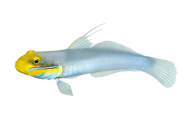 Blueband goby