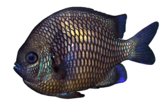 Girdled damselfish