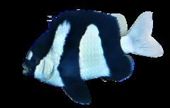 Trestribet jomfrufisk