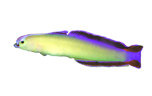 Elegant firefish