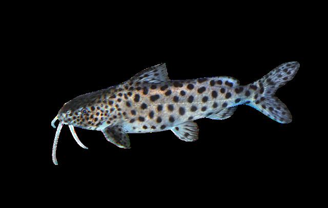 Malawisynodontis