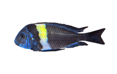 Whitespotted cichlid